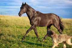 Dog and horse. Black horse and briard dog Royalty Free Stock Images