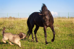 Dog and horse. Black horse and briard dog Stock Photo
