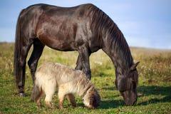 Dog and horse. Black horse and briard dog Stock Photo