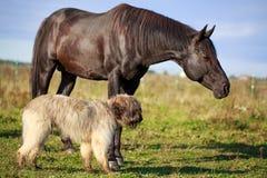 Dog and horse. Black horse and briard dog Royalty Free Stock Photos