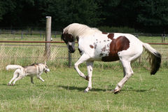 Dog and horse playing Stock Photos