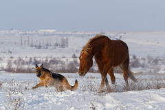 Dog and horse run together in snow Stock Images