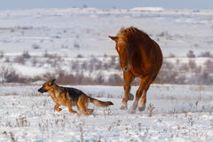 Dog and horse run together in snow Stock Photo