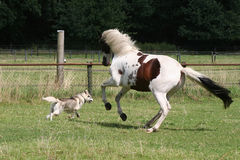 Dog and horse running Stock Images