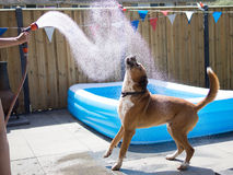 Dog and hose. Dog drinking from hose in garden stock image