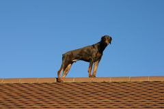 Dog on a hot tiled roof Stock Image
