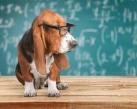 Basset Hound dog in glasses on background Royalty Free Stock Image