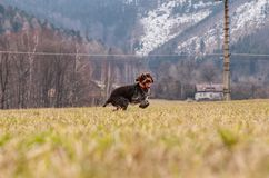 Dog Hound - Bohemian Wire Haired Pointing Griffon is jumping with happiness. Joy of movement. She is running, jumping across. Whole field. She smelling and royalty free stock photography