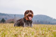 Dog Hound - Bohemian Wire Haired Pointing Griffon is laughing his head off in the middle field. Bitch dog is ready for run.  stock photos