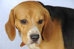 Dog hound hunting. Beagle. Stock Photo