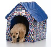 In the dog house. Cocker spaniel puppy in a dog house on white background Royalty Free Stock Photos