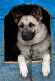 Dog in house. Domestic dog is in a house Royalty Free Stock Image