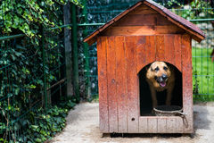 Dog house. German shepherd dog in his back yard dog house Stock Photography