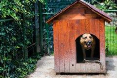 Dog house. German shepherd dog in his back yard dog house stock photography