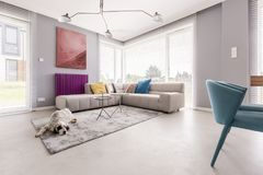 Dog in a house interior. Lying on a soft, grey carpet next to a large sofa, and an elegant, abstract painting hanging over a purple radiator Royalty Free Stock Photos