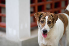 Dog in the house. This two tone dog stay in the house Royalty Free Stock Photos
