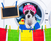 Dog housework chores. Dog inside a washing machine ready to do the chores and homework or housework and clean the dirt, wearing a shower cap , towel and rubber royalty free stock photo