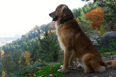 Dog. Hovawart with panorama of autum forests Royalty Free Stock Photography