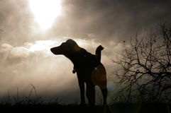 Dog howling at the moon. Cute dog profile in the night. Smooth Fox Terrier Stock Photography