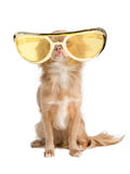 Dog with huge glasses. Tiny chihuahua dog with funny huge glasses Royalty Free Stock Photo