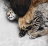 Dog hugs a cat. Stock Photography
