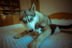 The dog hugs a cat. Cute blue-eyed husky puppy and Stock Photography