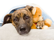Dog hugs a stuffed toy.  on white background Stock Photography