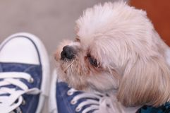 Dog  with human detail. Closeup of cute bichon maltese portrait with human detail Stock Photo