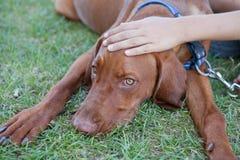 Dog. Human hand patting dog head royalty free stock photo