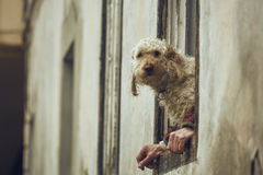 Dog with human hands illusion. Curious fluffy golden poodle dog sitting on a window sill between the owner's hands. Dog with human hands illusion. Dog and human royalty free stock image