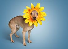 Dog. Humor summer chihuahua spring single flower flower Royalty Free Stock Images