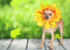 Dog. Humor Summer Chihuahua Spring Single Flower Flower Stock Photography