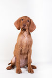 Dog Hungarian Vizsla pointer Royalty Free Stock Photos