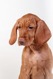 Dog Hungarian Vizsla pointer Stock Photography