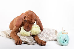 Dog Hungarian Vizsla pointer Stock Photos