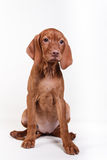 Dog Hungarian Vizsla pointer Royalty Free Stock Images