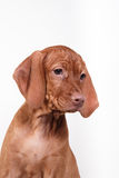 Dog Hungarian Vizsla pointer Stock Image