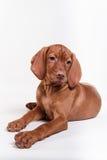 Dog Hungarian Vizsla pointer Royalty Free Stock Photos