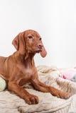 Dog Hungarian Vizsla pointer Royalty Free Stock Photo