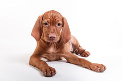 Dog Hungarian Vizsla pointer Stock Images