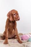 Dog Hungarian Vizsla pointer Royalty Free Stock Photography