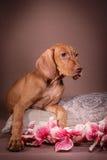 Dog Hungarian Vizsla pointer Stock Images