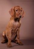 Dog Hungarian Vizsla pointer Royalty Free Stock Image