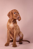 Dog Hungarian Vizsla pointer Royalty Free Stock Photo