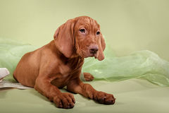 Dog Hungarian Vizsla pointer Stock Image