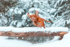 Dog Hungarian vyzhla jumping over a log on snow in winter forest royalty free stock photography
