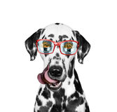 Dog is hungry and food reflected in his glasses. Isolate on white background Stock Images
