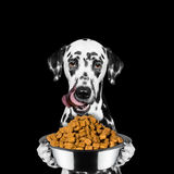 Dog is hungry and keeps the food Stock Photography