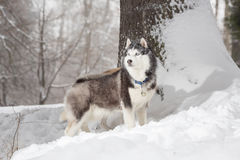 Dog in the hunt. Winter. Royalty Free Stock Photography