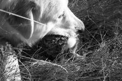 Dog hunted rabbit. Dog eating a dead and hunted rabbit, animals stock images